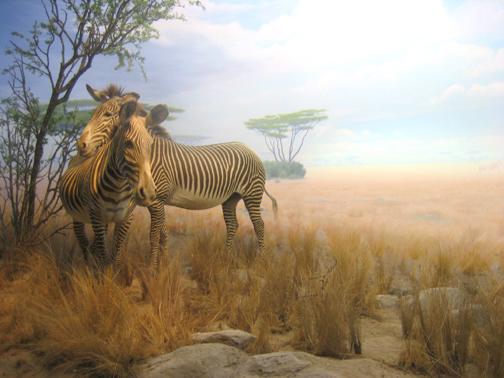 Zebras_L