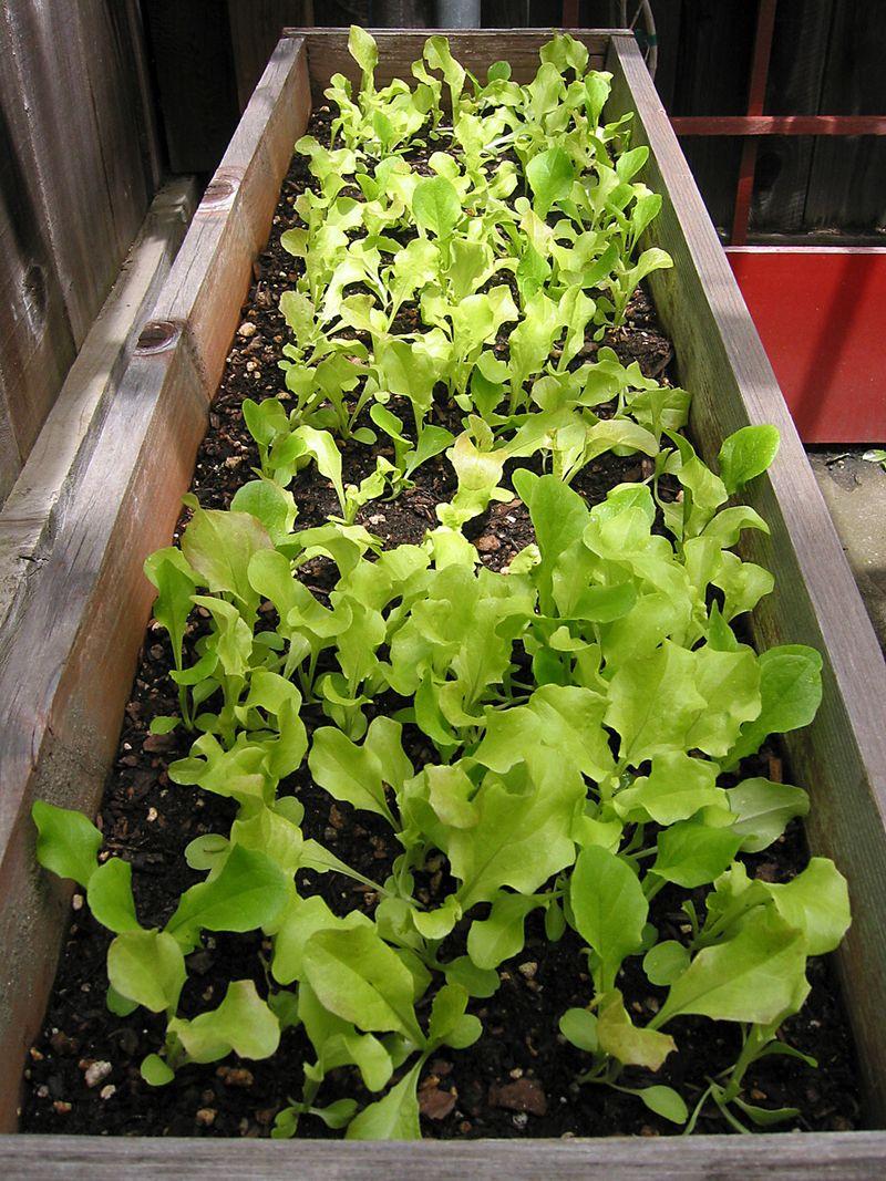Lettuce_L